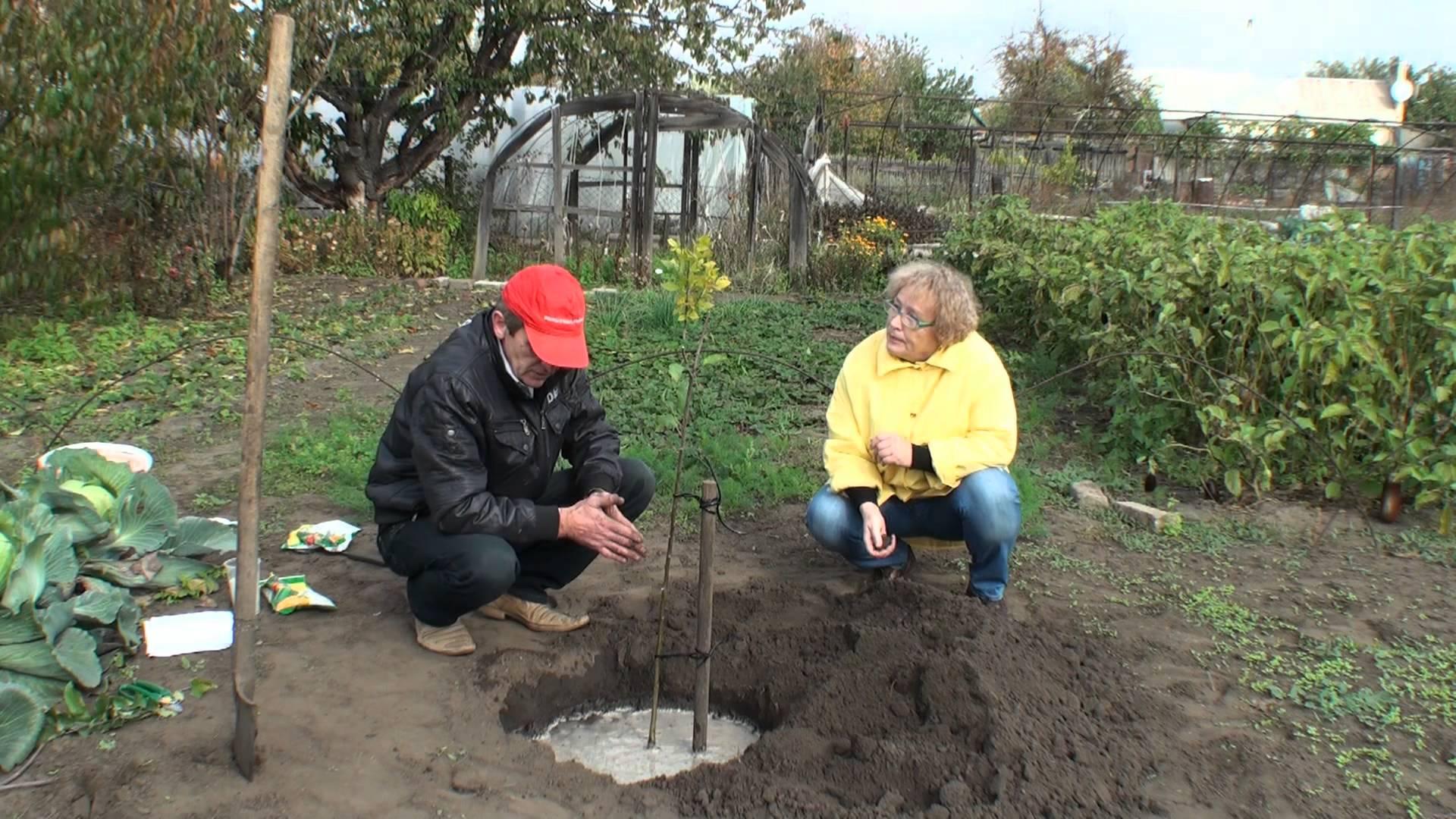 Фото планировка для яблони саженц 4 фотография