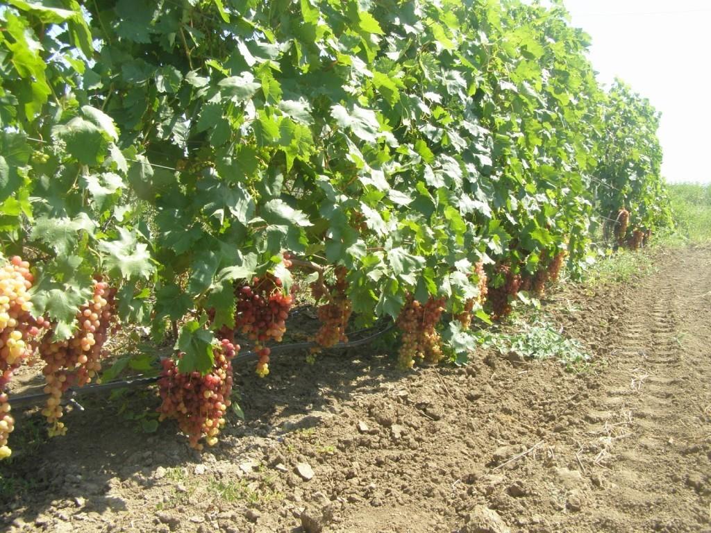Выращивание винограда Преображение