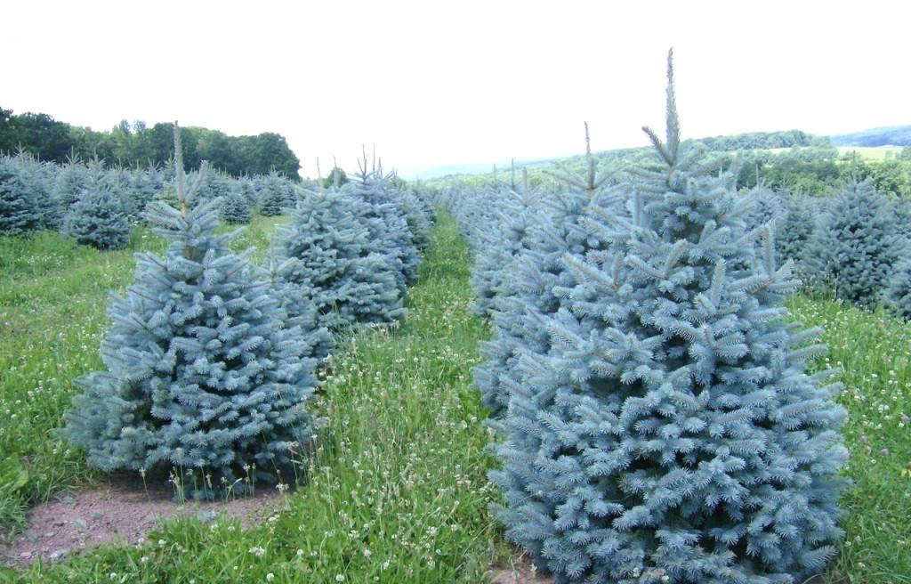 Выращивание голубой ели