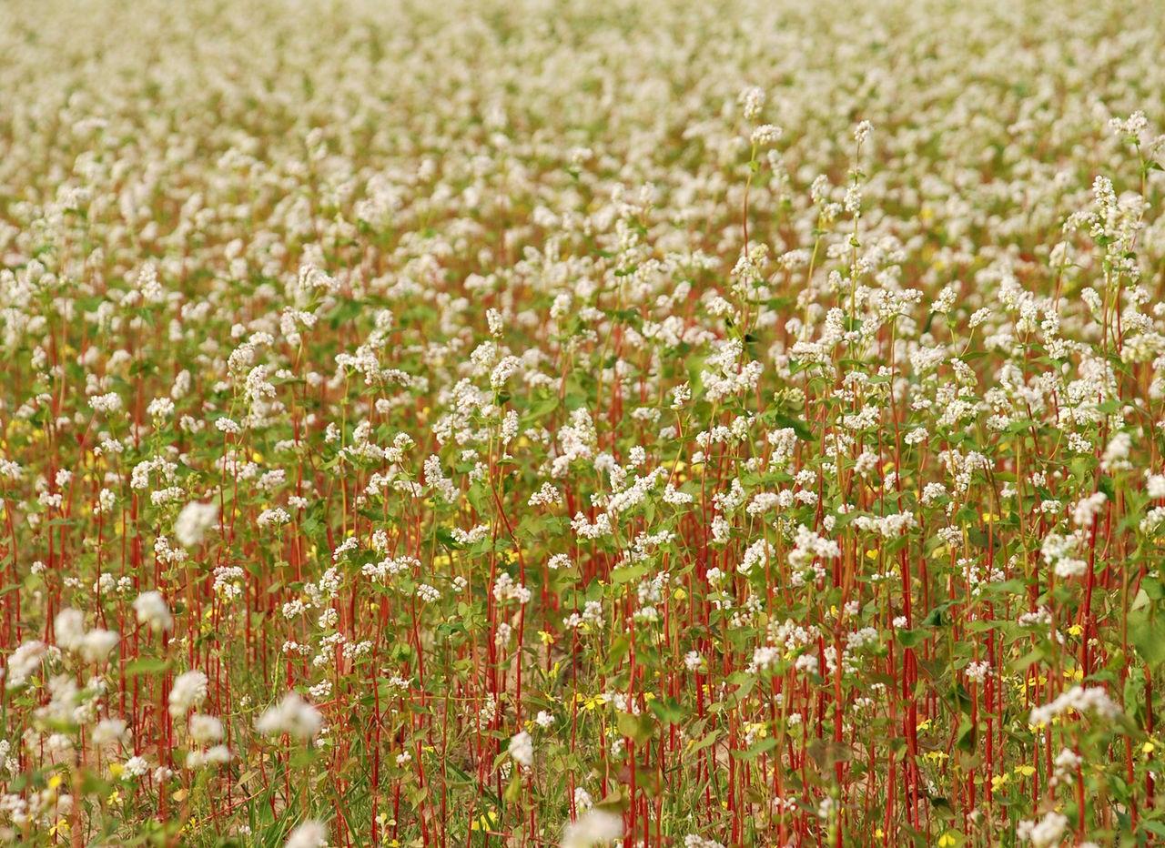Гречиха посевная выращивание 60
