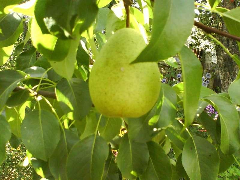 Выращивание грущи чижовской