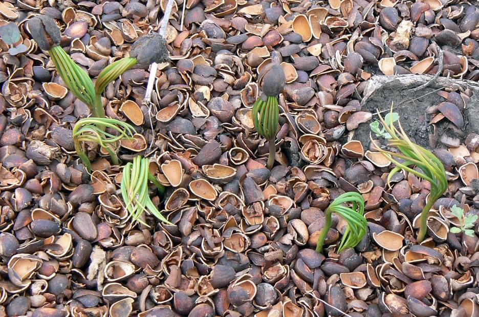 Выращивание кедра из кедрового ореха