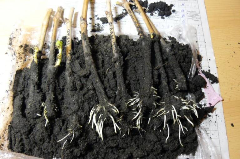 Как посадить винограда домашних условиях
