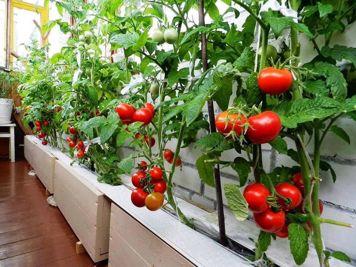 Томат «Балконное чудо». Описание сорта: характеристика и агротехника