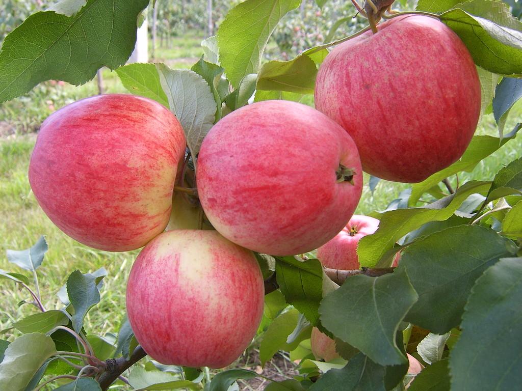 Выращивание яблони мельба