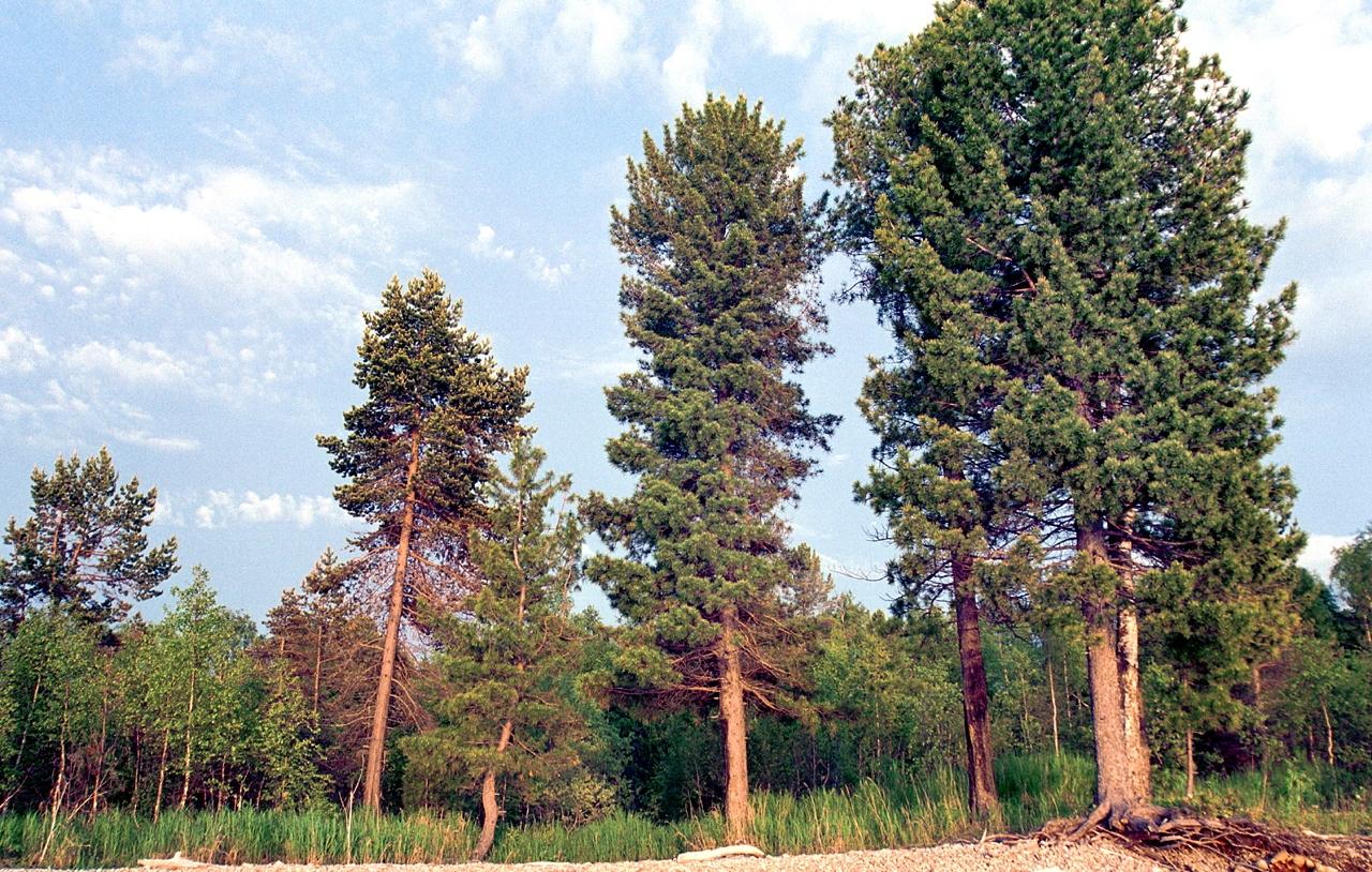 Кедр дерево