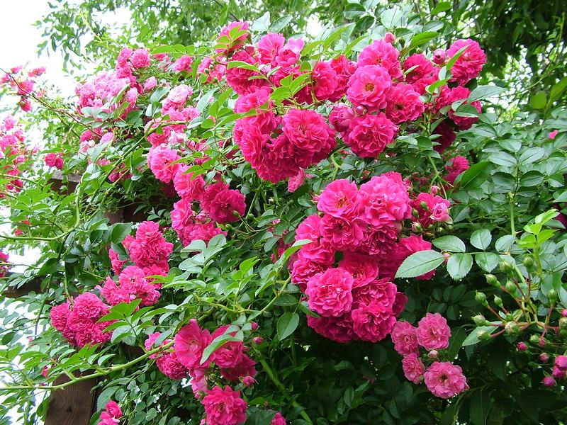 Красивые плетистые розы