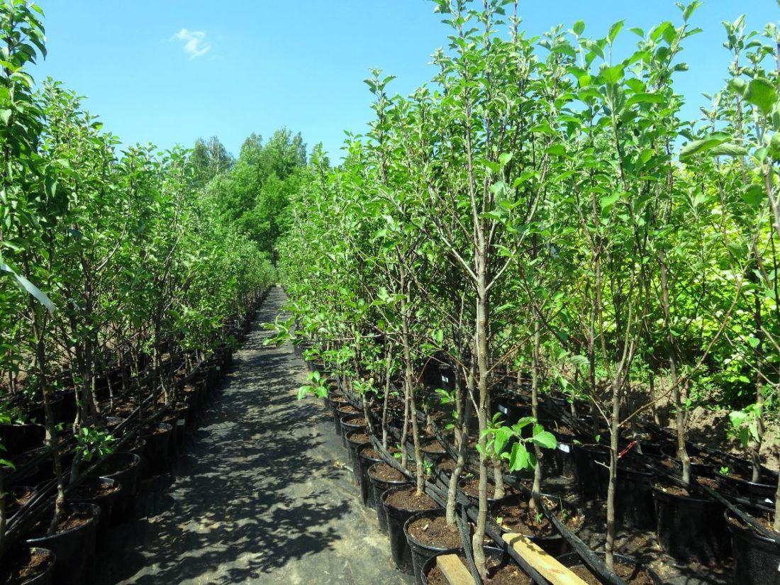 Питомник плодовых деревьев