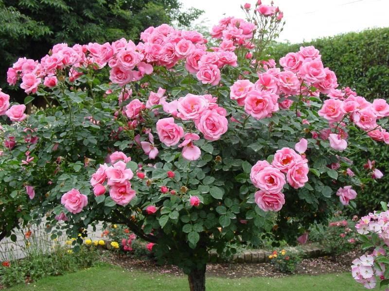 Какие плетистые розы самые неприхотливые и зимостойкие