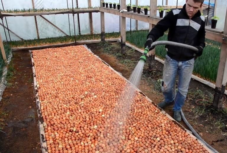 Можно ли сажать в теплицу с помидорами репчатый лук 27