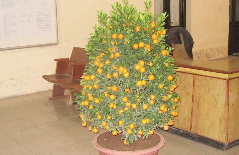 Выращивание мандарина в домашних условиях из косточки 48