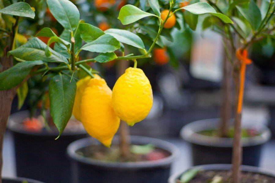 Условия выращивания цитрусовых в домашних условиях