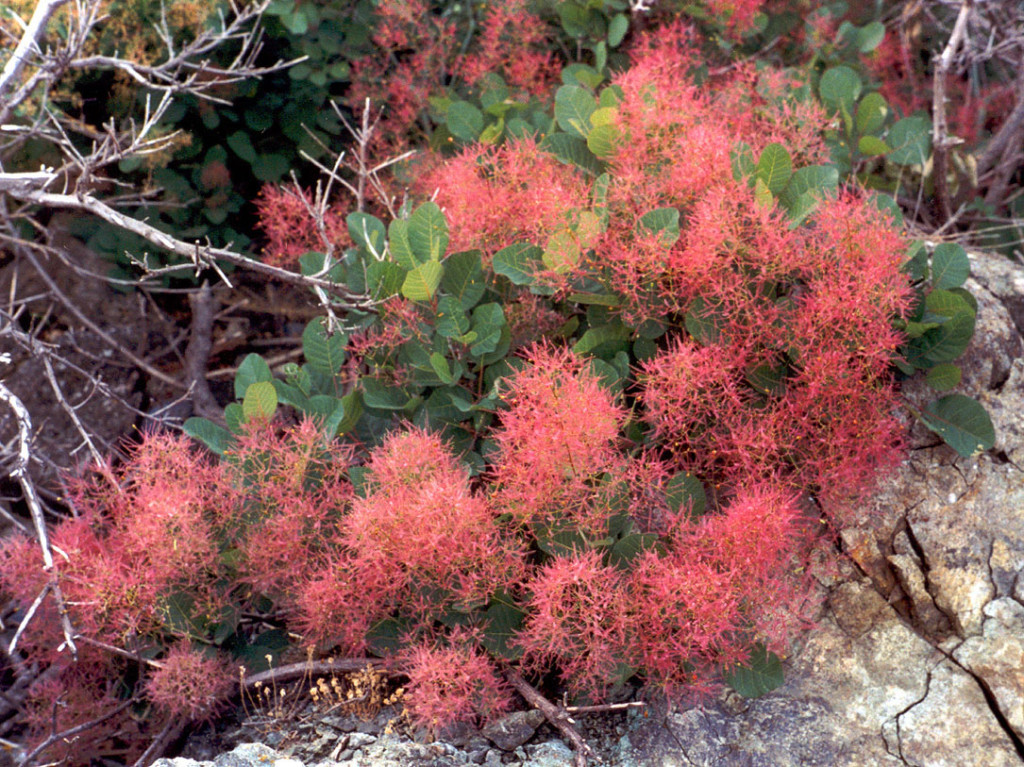 Растение скумпия