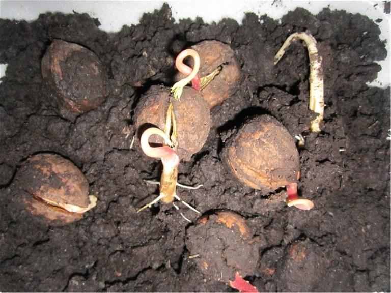 Выращивание грецкого ореха из семян быстрым методом часть 1 778
