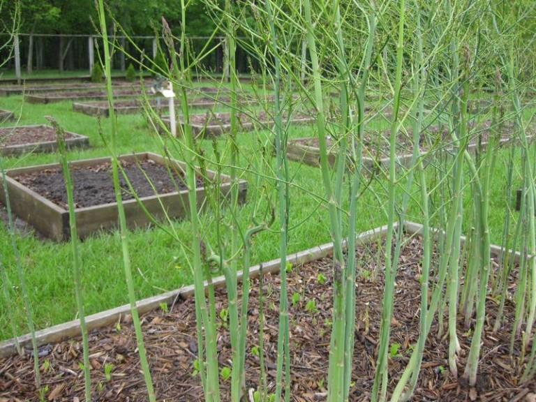 Спаржа: выращивание, посадка