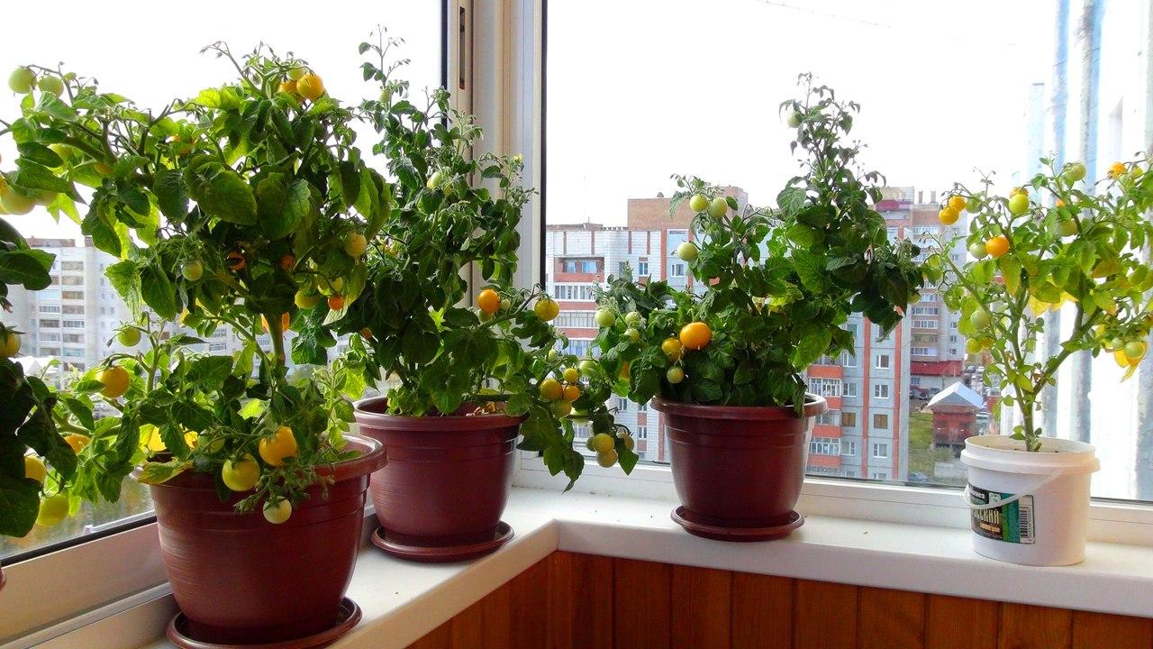 Балконное чудо помидоры выращивание в теплице 1