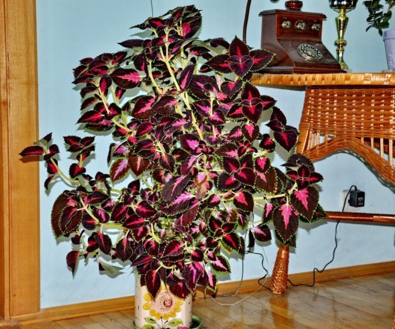 Цветок комус