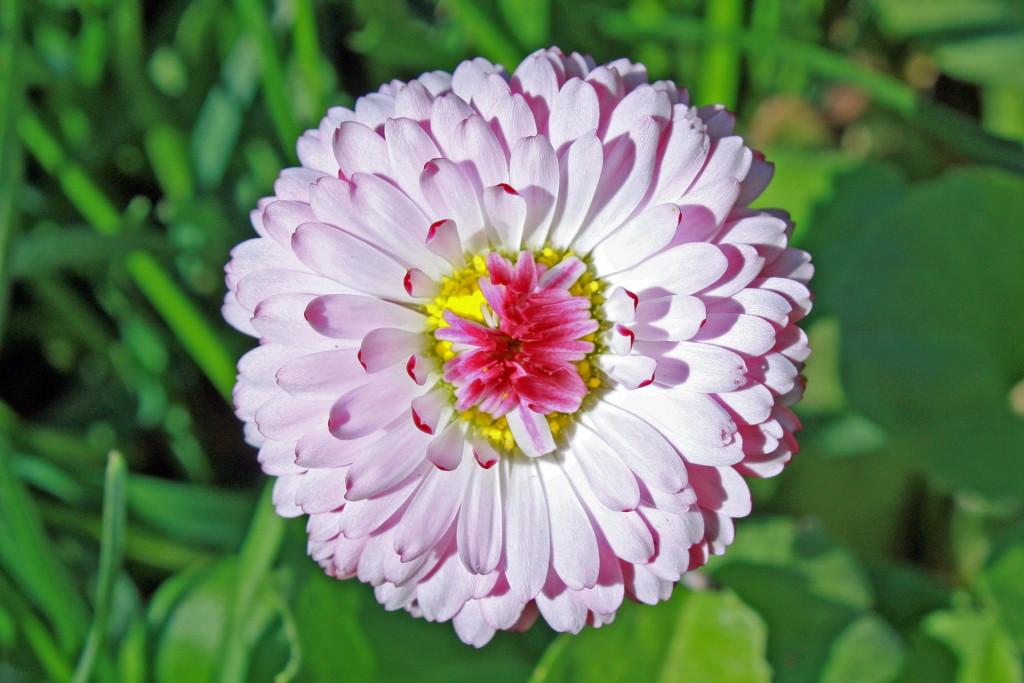 Цветок маргаритка