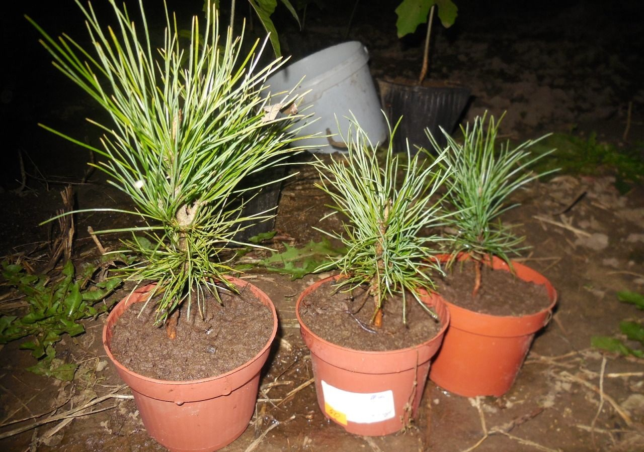 Кедр, выращивание в домашних условиях, из семян, фото