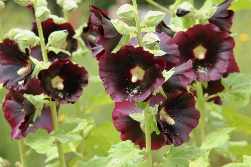 Фото 10: Alcea rosea nigra
