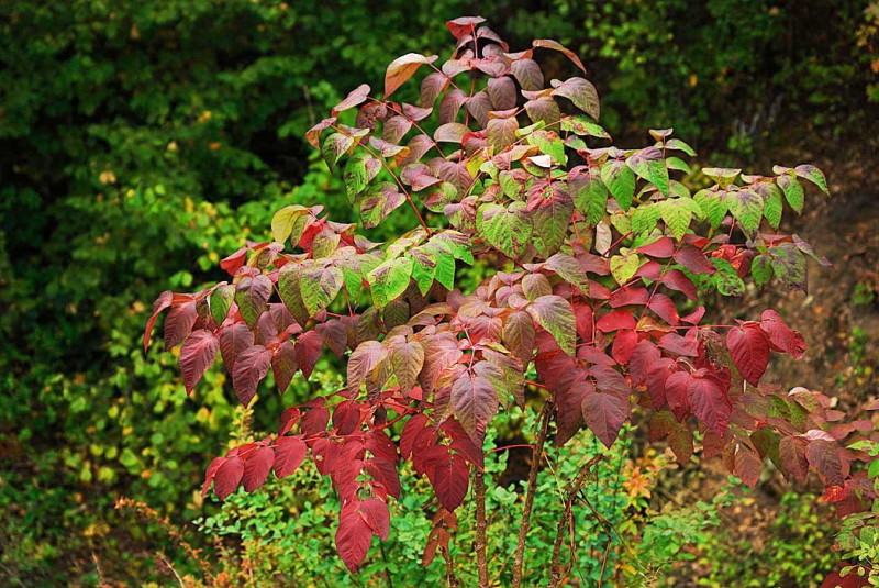 Листья аралии осенью