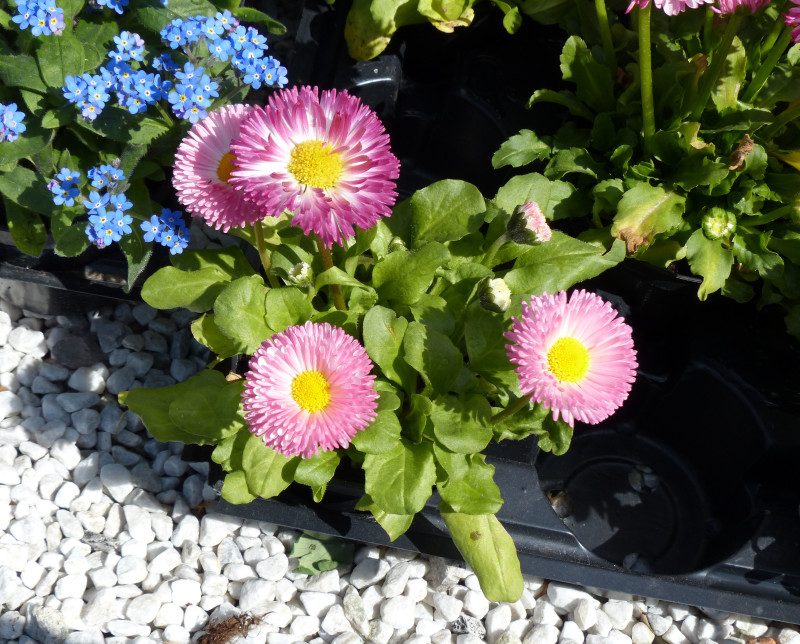 Фото 9: Bellis 'Rominette Mix'