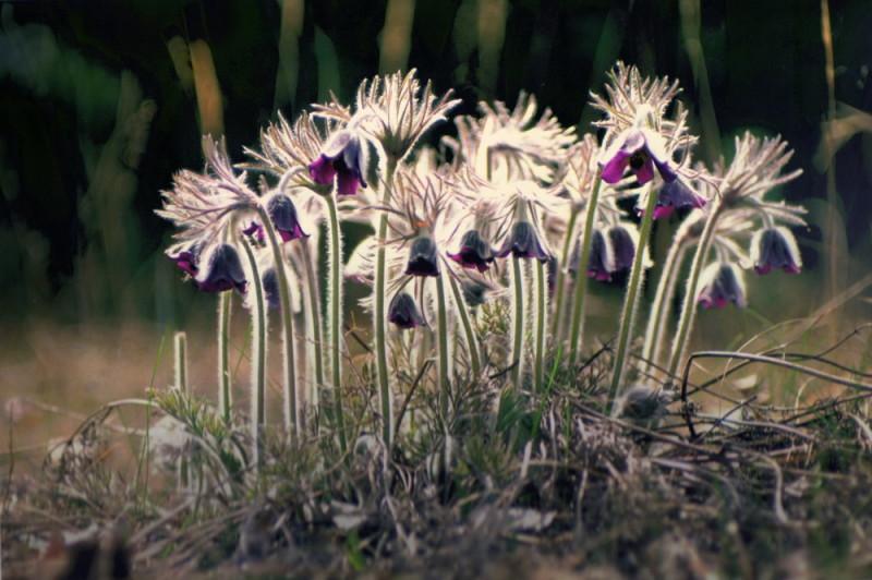 Темная сон-трава