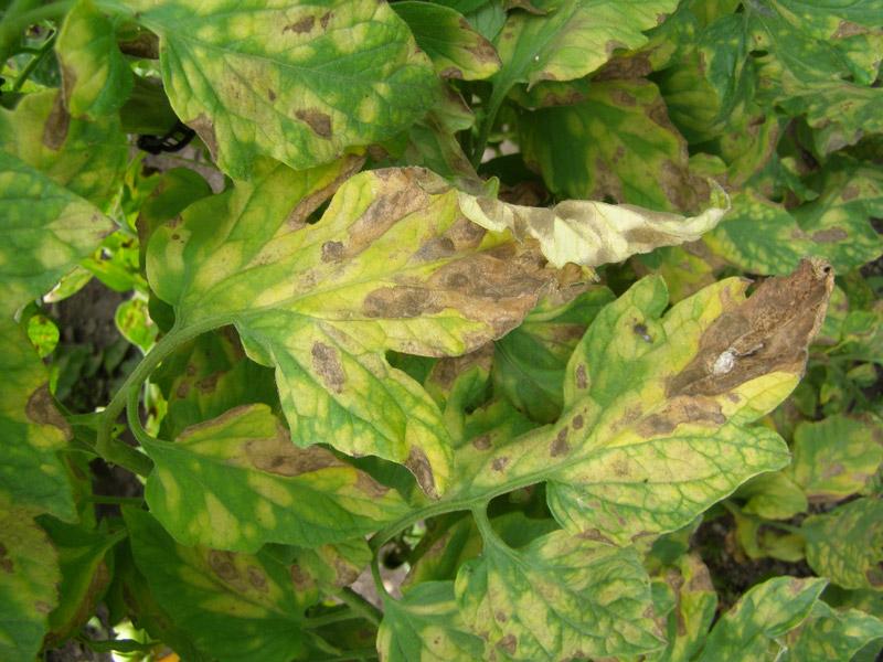 Фото 15: Плесень на томатах из-за нехватки удобрений и перелива