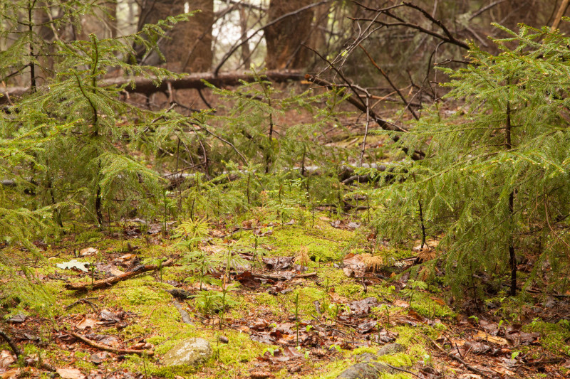 Фото 19: Среда обитания для ликподиума