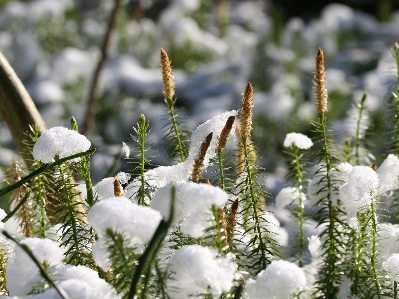 Ликподиум под снегом