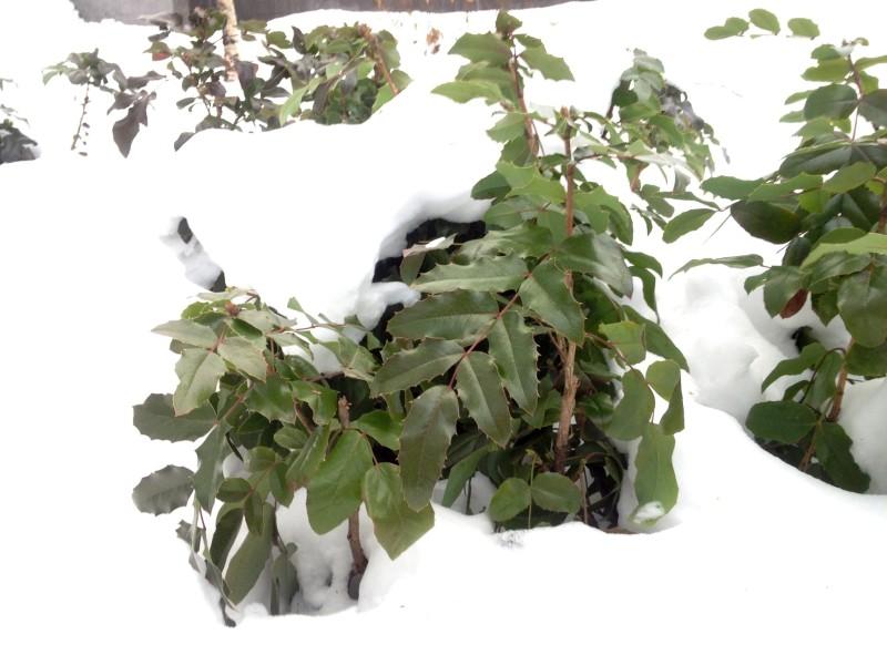 Магония под снегом