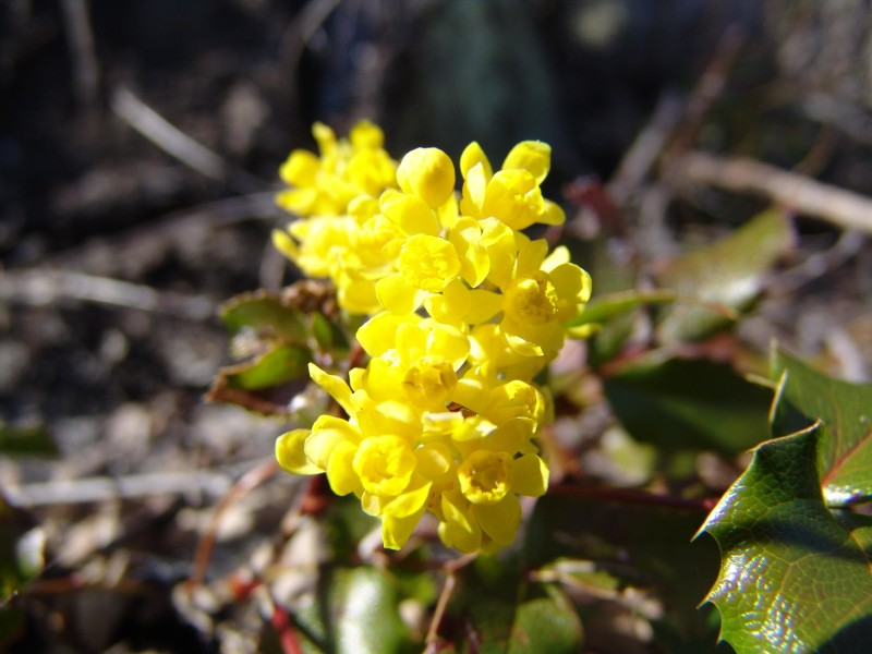 Фото 11: Цветок магонии
