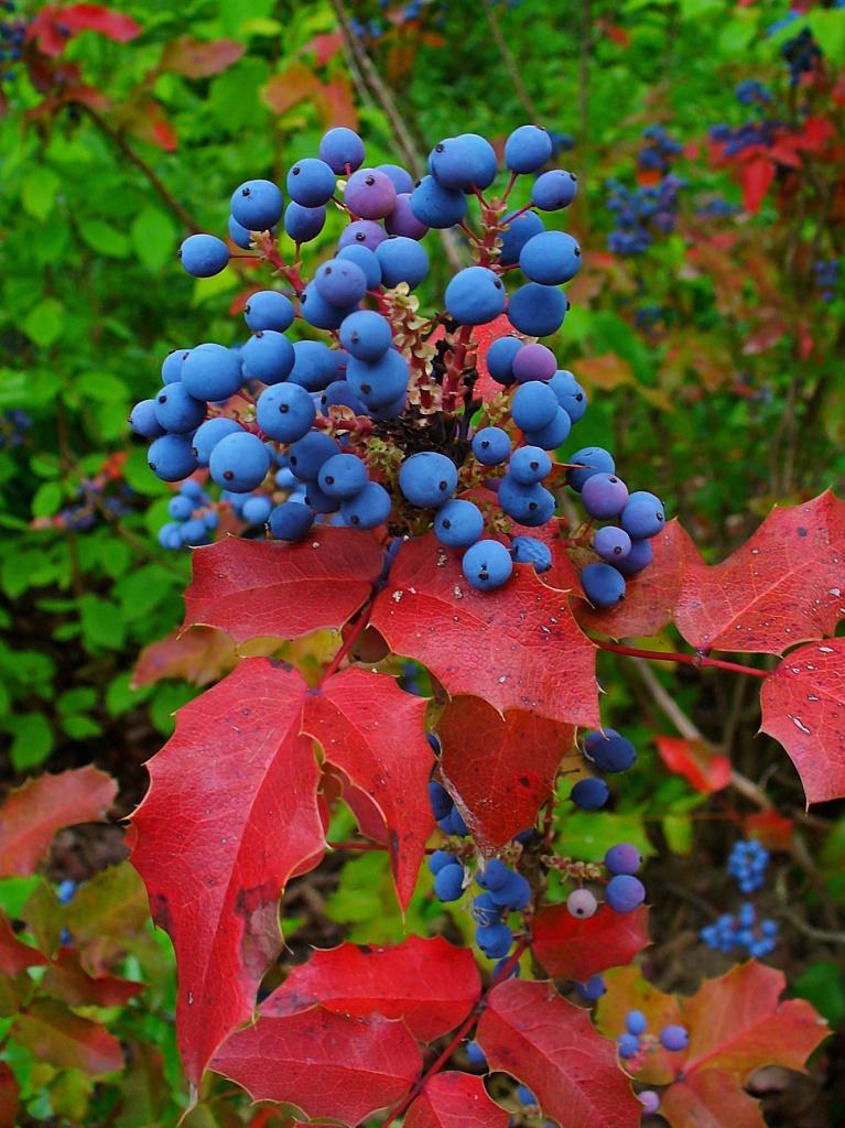 Фото 13: Ягоды и листья магонии