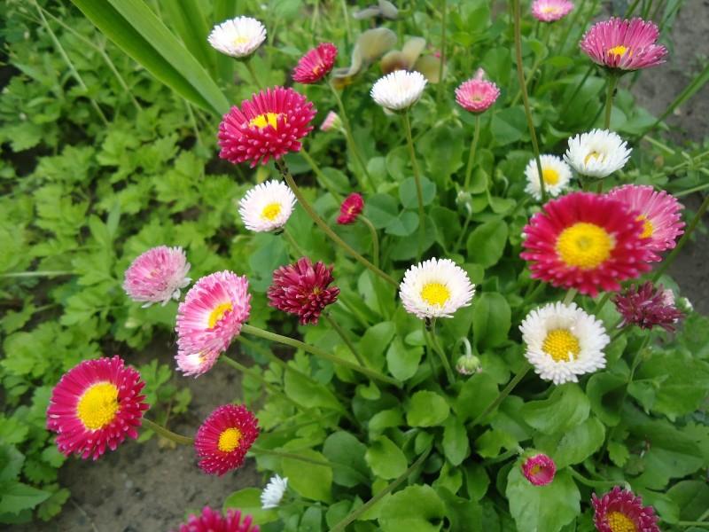 Разнообразие цветов маргариток