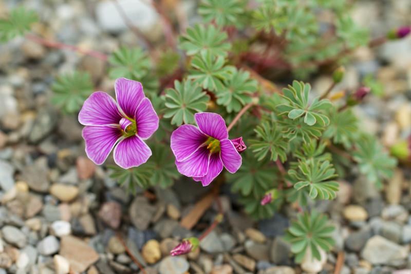 Фото 17: Oxalis enneaphylla rosea