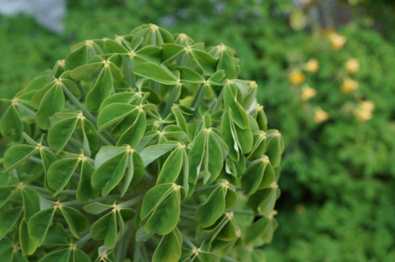 Фото 23: Oxalis succulenta
