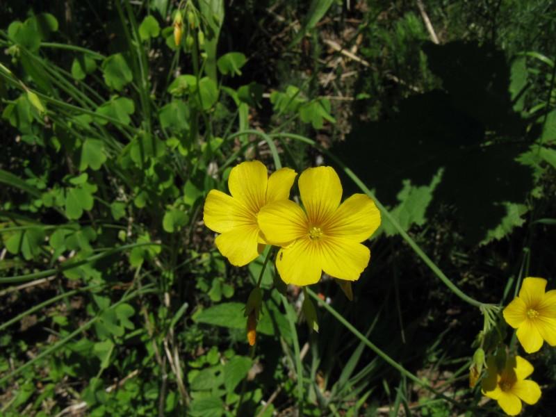 Фото 25: Oxalis valdiviensis