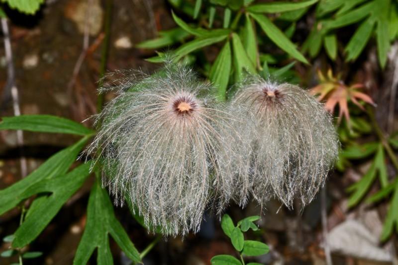 Семена Pulsatilla davurica