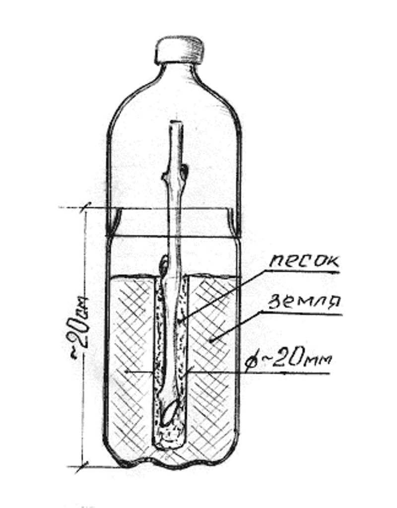 Схема выращивания черенка рассады винограда в пластиковой бутылке