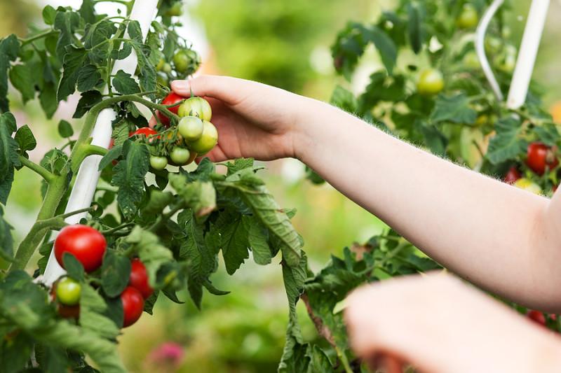 Фото 28: Урожайность томатов при подкормке