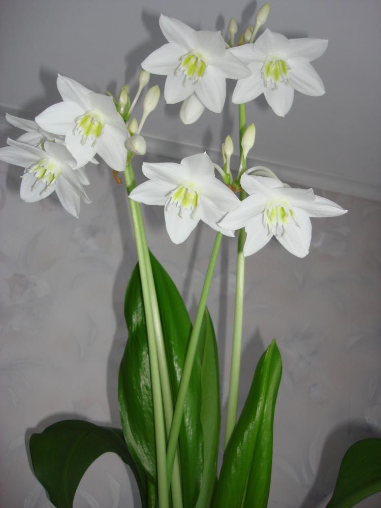 Белая амазонская лилия