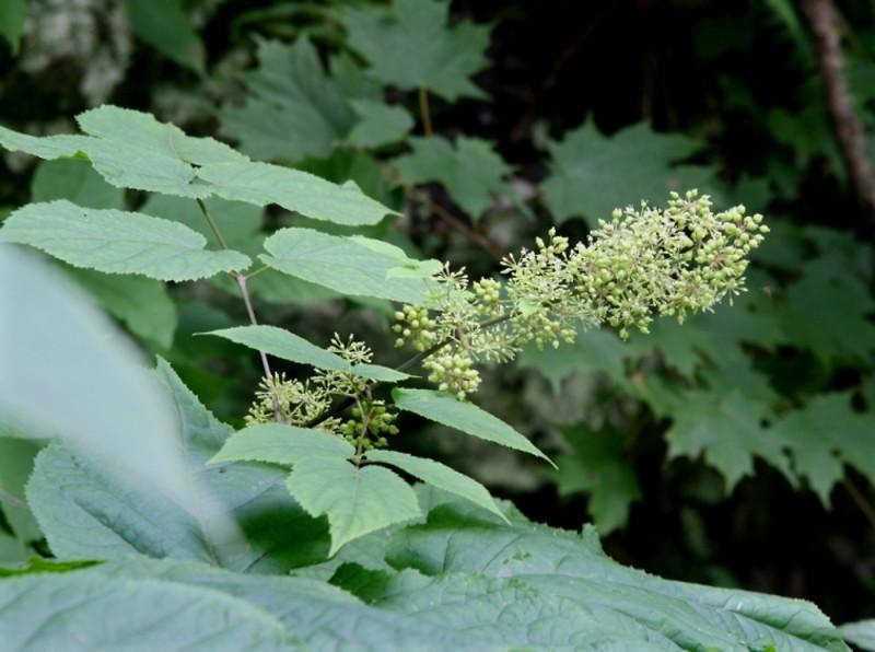 Фото 15: Набор цветения аралии