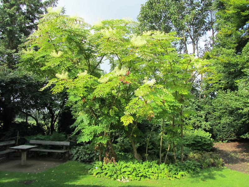 Дерева аралии