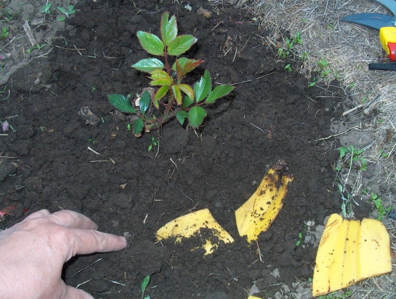 Фото 10: Удобрение банановыми корками