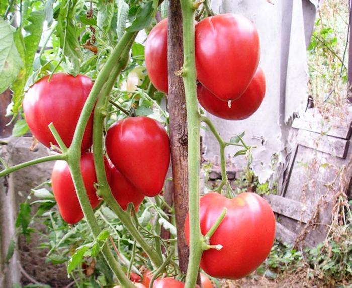 """Фото 10: Сорта томатов """"Чудо земли"""""""