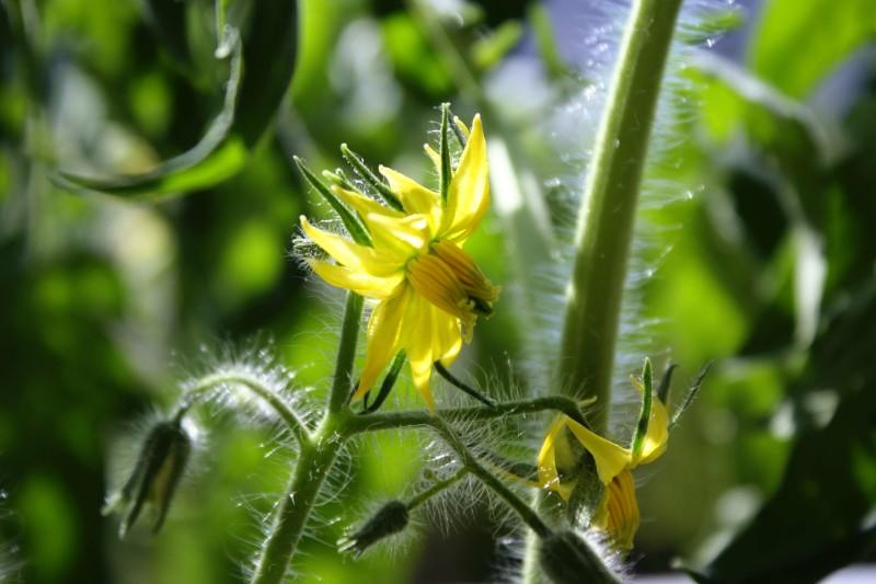 Фото 8: Цветение томатов