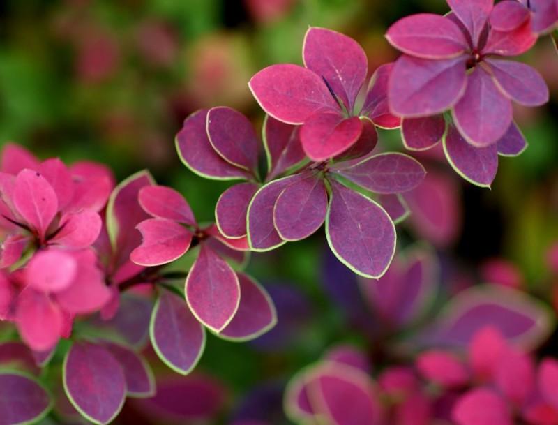 Фото 9: Фиолетовая кислица