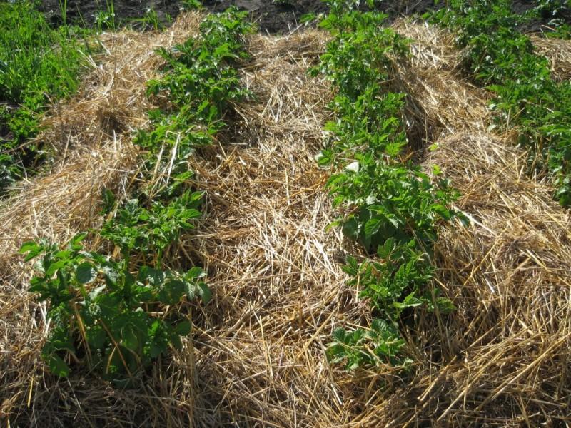 Фото 13: Использование соломы для удобрения