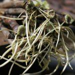 Фото 55: Корни черенков винограда