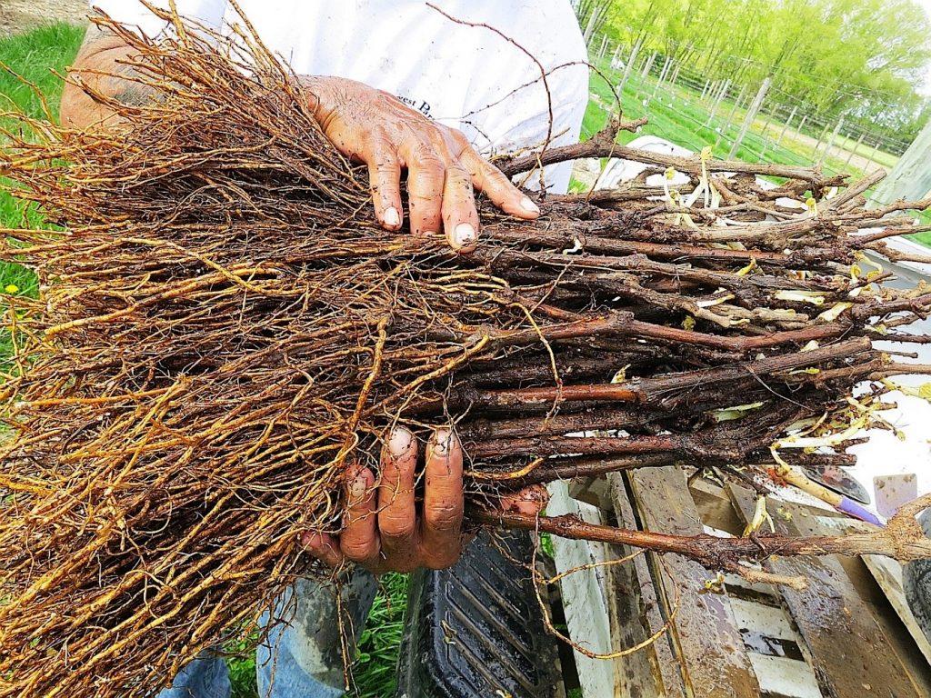 Как сажать осенью декоративный виноград 64